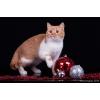 Яркий британский кот