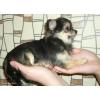 Забава Путятишна - малюсенькая девочка чихушечка.  Вы будете гордиться своей собакой!