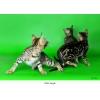 Замечательные бенгальские котята из питомника