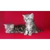 Замечательные британские котята вискас